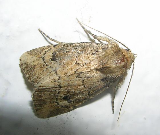 Moth  - Anhimella contrahens