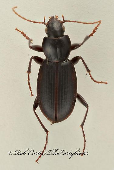 9017378 Carabid - Synuchus dubius - male