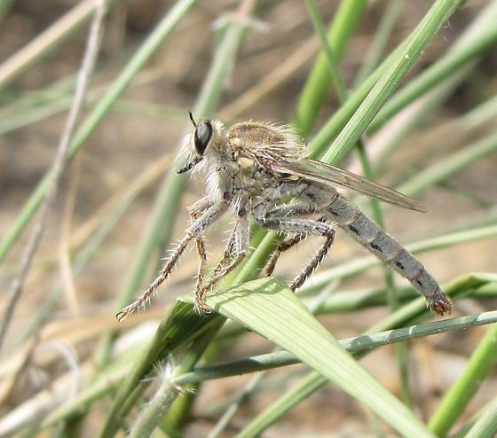 Taxi! - Scleropogon picticornis - male
