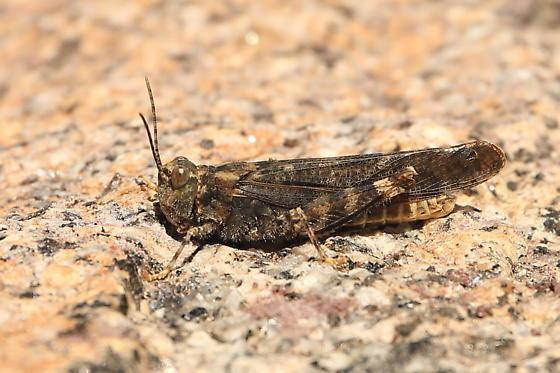 Acrididae - Circotettix maculatus - male