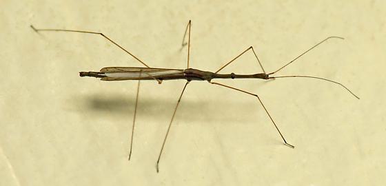 Walking Stick Bug? - Hydrometra