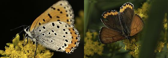Lycaena Dispar - Lycaena hyllus - male