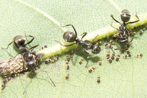 Black Slave-maker Ant - Formica subsericea