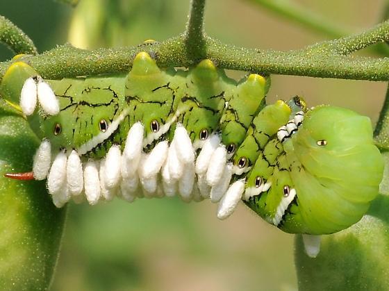 Braconid Wasp (Cotesia congregata) Cocoons on Carolina Sphinx Caterpillar - Cotesia congregata