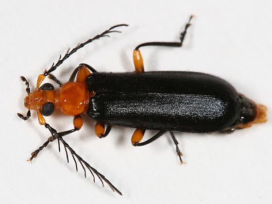 Fire-colored Beetle - Neopyrochroa femoralis - male