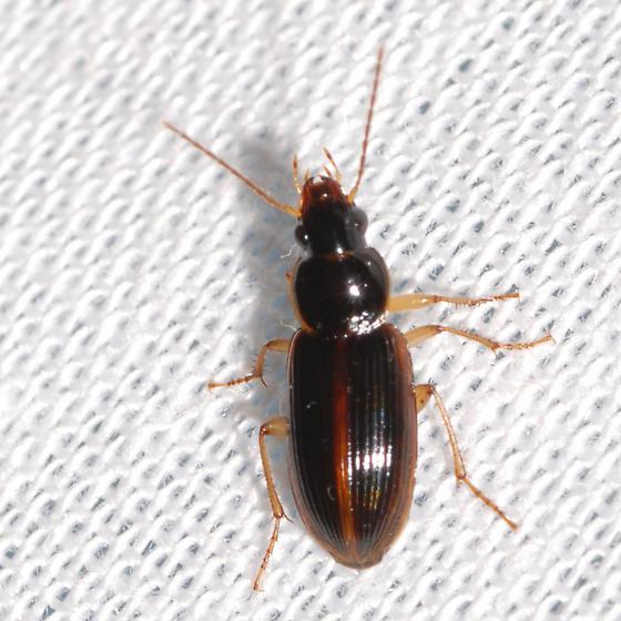 Stenolophus infuscatus? - Stenolophus ochropezus