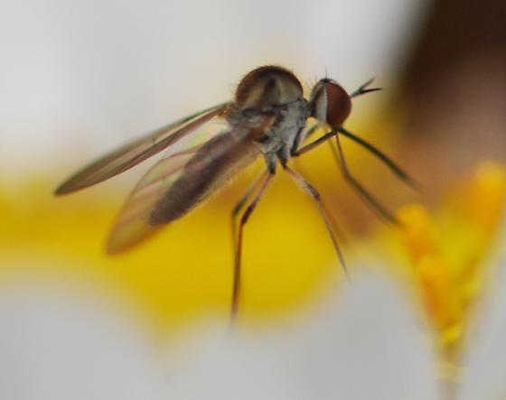 fly - Geron calvus