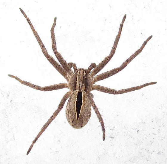 Immature Male - Thanatus formicinus - male