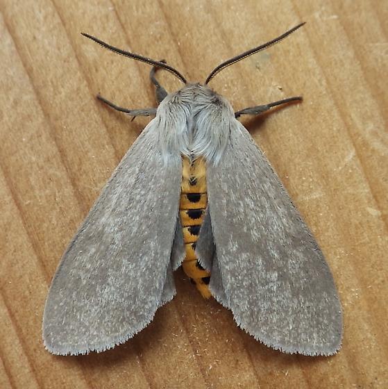 Erebidae: Euchaetes egle - Euchaetes egle