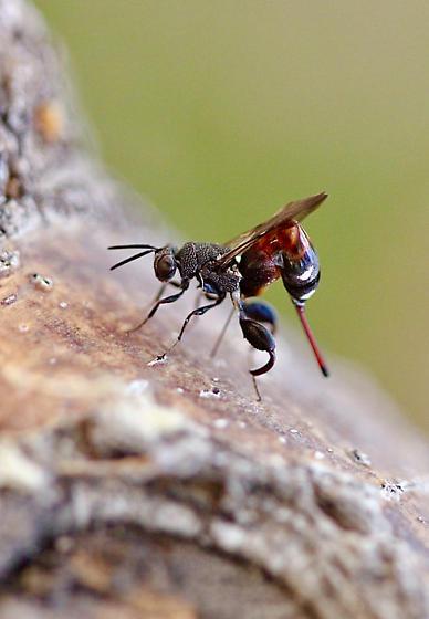 Wasp ID - Acanthochalcis nigricans