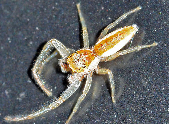 spider - Hentzia mitrata - male
