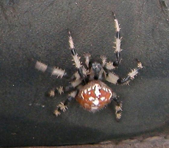 Red spider with white and black striped legs - Araneus trifolium