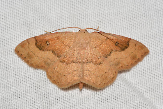Semaeopus gracilata