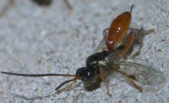 Black and red ichneumon wasp - BugGuide.Net Black Ichneumon Wasp