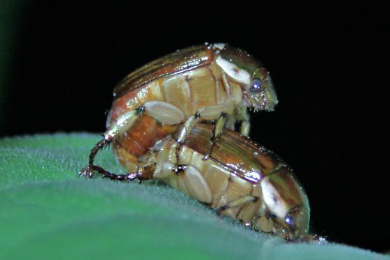 thing - Callistethus marginatus - male - female