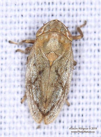 Aphrophoridae ? - Philaenus spumarius