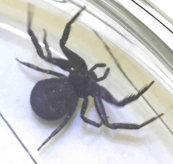 Coriarachne brunneipes - female