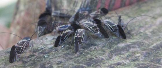 Unknown longhorn beetle? - Cerastipsocus venosus