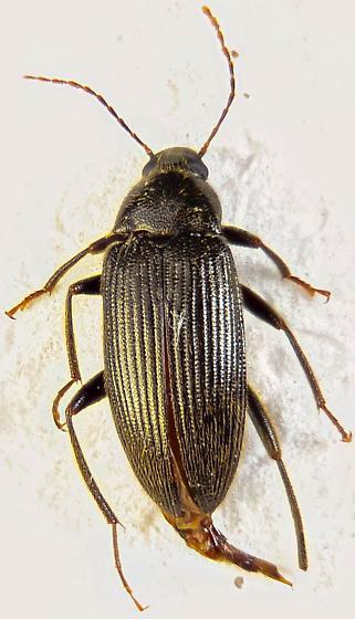 Alleculinae? - Lobopoda punctulata - female