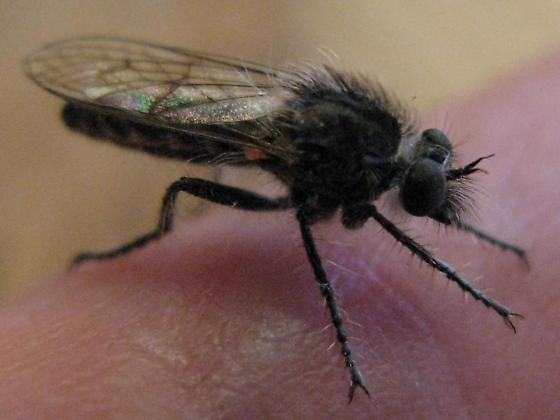 ? Eucyrtopogon 1 - Eucyrtopogon - female