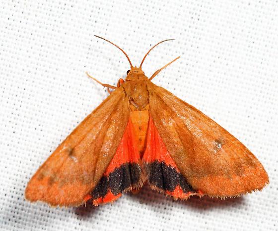 Orange Virbia - Virbia aurantiaca