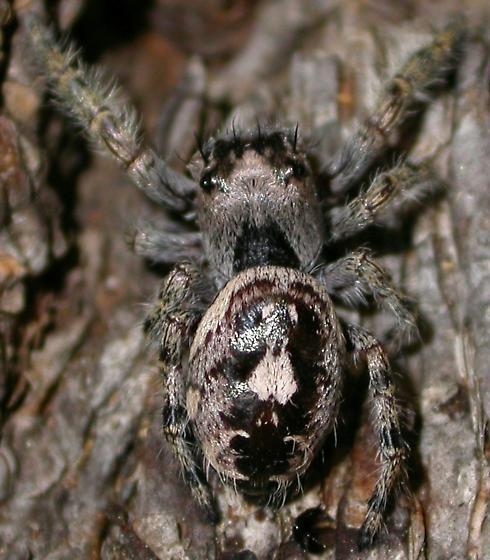 Phidippus richmani - female