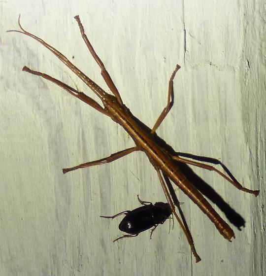 Anisomorpha buprestoides - Southern Two-striped Walkingstick - Anisomorpha buprestoides - male