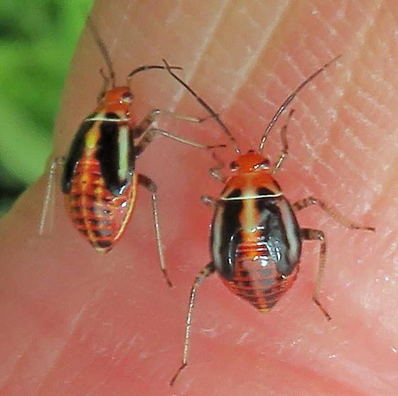 Four-lined Plant Bug nymphs - Poecilocapsus lineatus