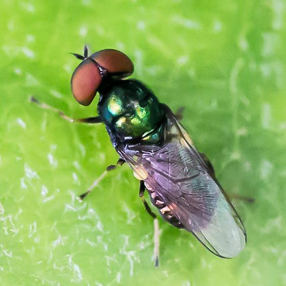 soldier fly - Microchrysa polita - male