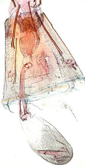 Gelechiidae - Gerdana caritella - female