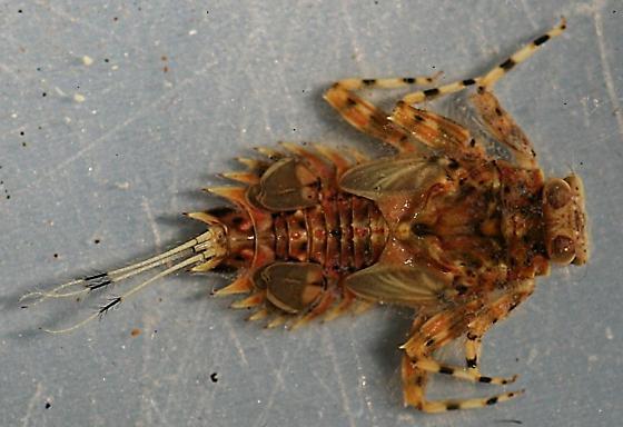 Timpanoga hecuba - voucher specimen, in alcohol - Timpanoga hecuba