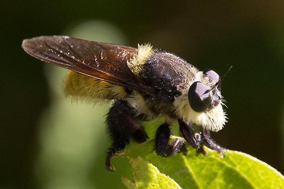 Unknown Insect - Mallophora fautrix