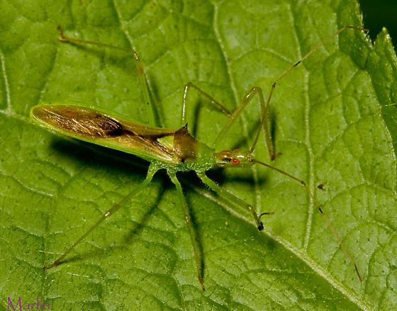 Assassin Bug - Zelus luridus
