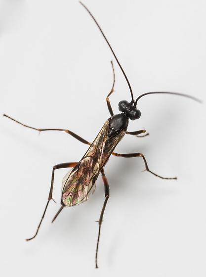 Wasp - Cryptopimpla quadrilineata - female