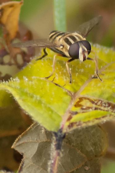 Hoverfly? - Helophilus fasciatus