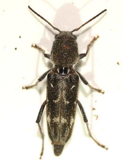 Xylotrechus sagittatus  - Xylotrechus