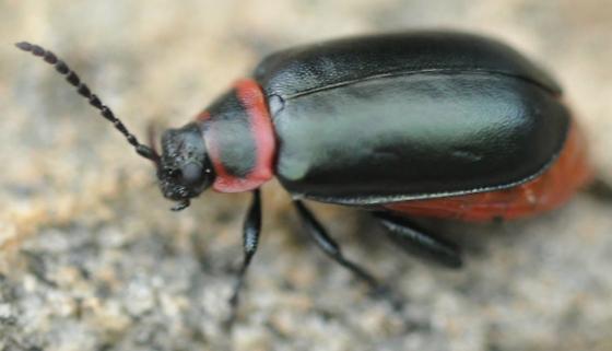 Leaf Beetle? - Kuschelina vians