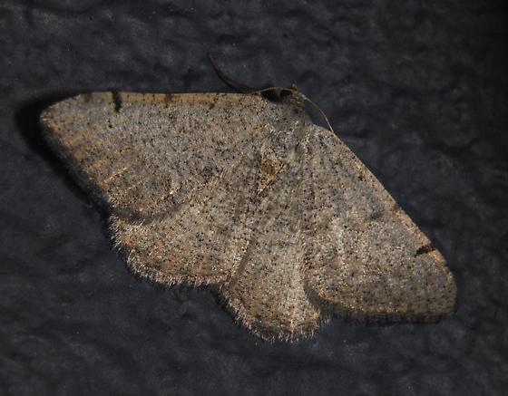 possible Digrammia delectata - Digrammia delectata