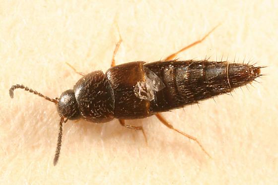 rove beetle - Oxypoda