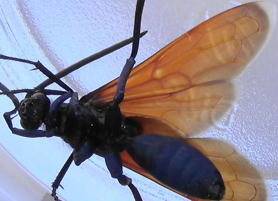 Handsome Tarantula Hawk (wings open) - Pepsis thisbe - male