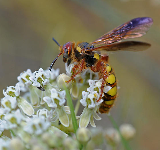 Unidentified, Maybe Bee Wolf or Digger Wasp? - Trielis octomaculata - female
