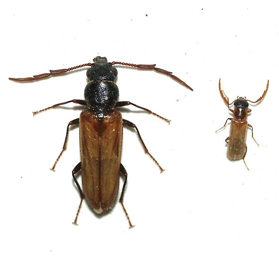 The big one is Trimitomerus riversii, but is the small one the same sp.? - Trimitomerus riversii