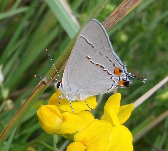 Strymon (Satyrium) melinus - Strymon melinus - male