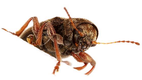 Leaf Beetle - Myochrous