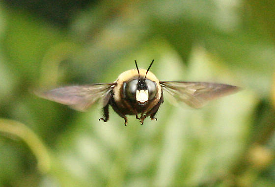 Eastern Carpenter Bee Hovering - Xylocopa virginica - male