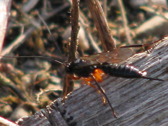 Black wasp with orange legs