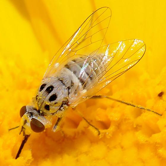 Bombyliidae? - Apolysis