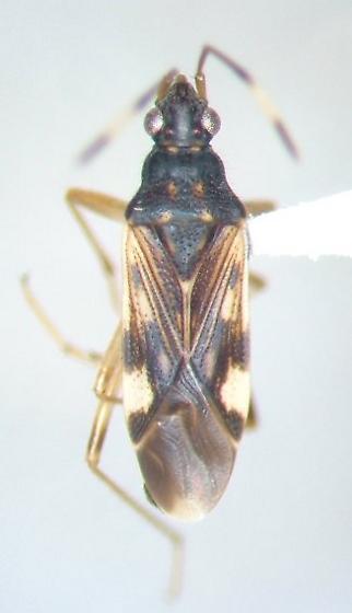 Ozophora burmeisteri