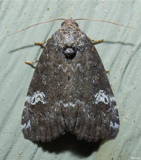 Moth - Anterastria teratophora