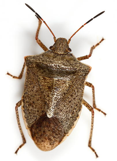 Pentatomid - Euschistus variolarius - male
